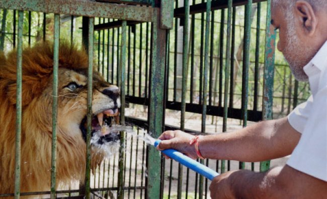 A man offers water to a lion in a zoo in Solapur on Sunday.