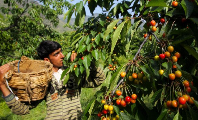 A labourer plucks cherry from a tree at an orchard on the outskirts of Srinagar on Monday.