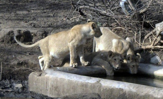 Lions quench their thirst on a hot summer day in Khambha near Amreli of Gijarat on Monday.