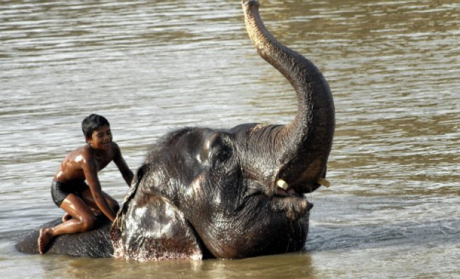 An elephant handler in a pond at the Hathi gaon (Elephant village) on Jaipur-Delhi Road near...