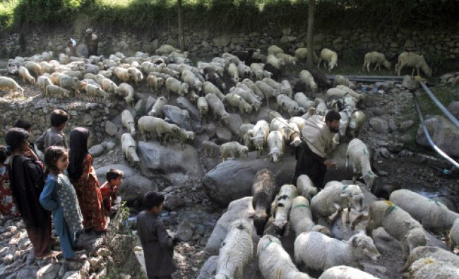 A Bakarwal herds his flock of sheep on the outskirts of Srinagar, India...