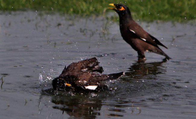 A pair of mynahs trying to beat the scorching heat at a pond as temperature soars in New Delhi..