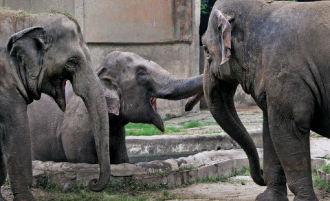 Elephants at an enclosure of Alipore Zoological Garden in Kolkata on Friday.