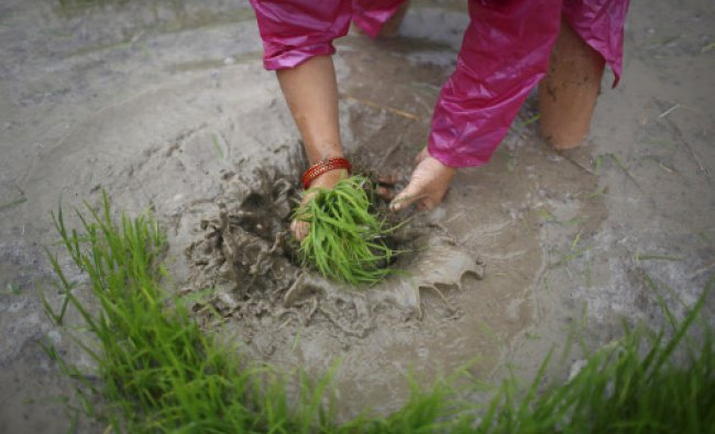 A farmer washes rice saplings in the rice paddy field in Khokana, Lalitpur June 17, 2013.