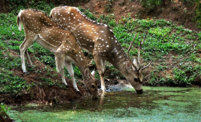 A pair of spotted deer quenching thirst at a pond during a hot summer day at Assam State Zoo Cum...