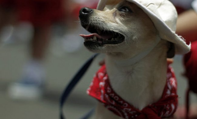 A dog wearing a farmer\'s hat and scarf takes part in a parade to commemorate Costa Rica\'s...