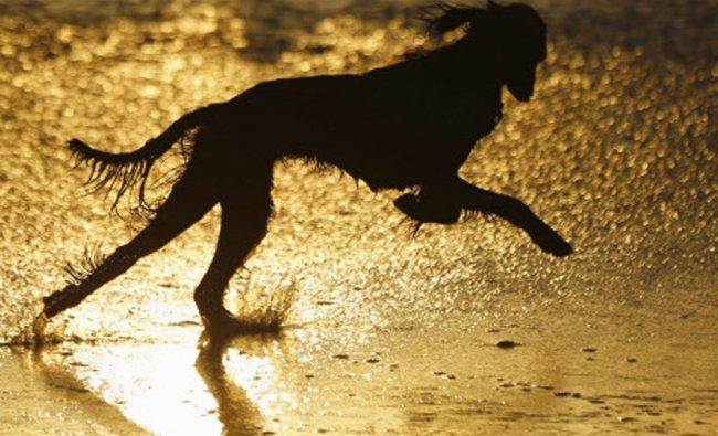 A dog runs along the beach at sunset in Leucadia, California September 18, 2013. REUTERS