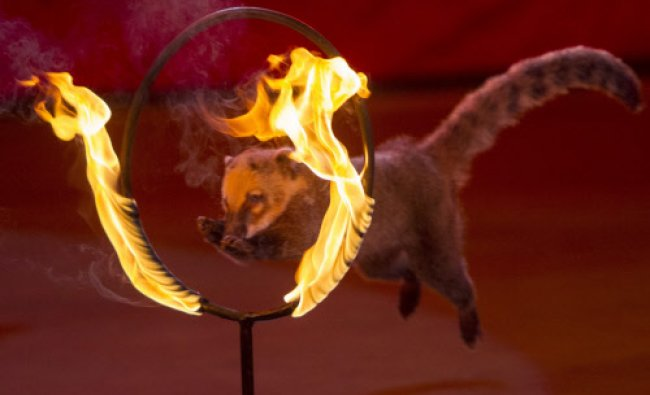 A coati jumps through a ring of fire during \'Caravan of Wonders\', a new programme.