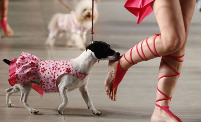 A model walks with a Jack Russell terrier during the \'2013 Spring-Summer Caribbean Colour Paws\' show