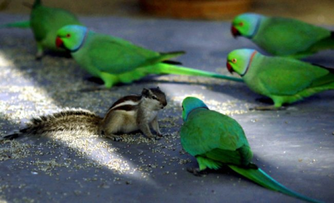 Parrots and a squirrel eat food grains at a park in New Delhi on Tuesday.PTI Photo