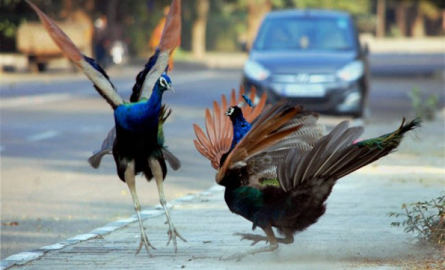 Peacocks enjoy a cold winter day in Jodhpur on Monday. PTI Photo