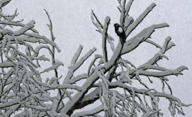 An eagle rests on a tree branch during heavy snowfall in Srinagar on Tuesday.