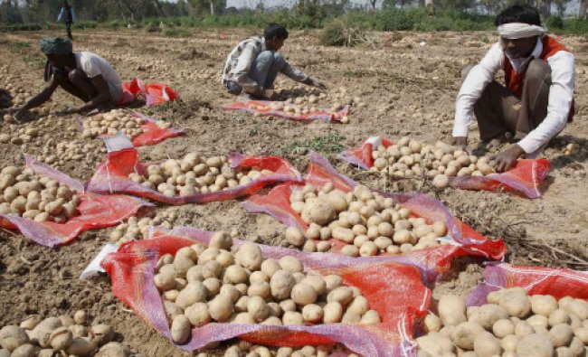 Farmers sorting potatoes at a field at a village near Allahabad on Wednesday...