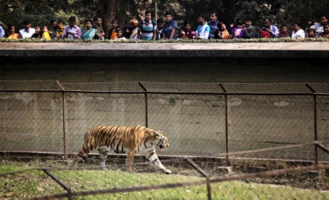 Spectators watch a Royal Bengal tiger stroll inside its enclosure at Alipore Zoological Garden...