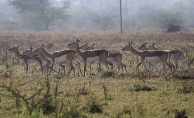 A group of female blackbucks walk through a field at Kanjari village near Ahmadabad...