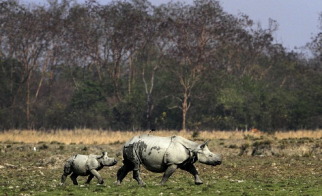 A baby one horned rhinoceros walks behind its mother at the Pobitora wildlife sanctuary...