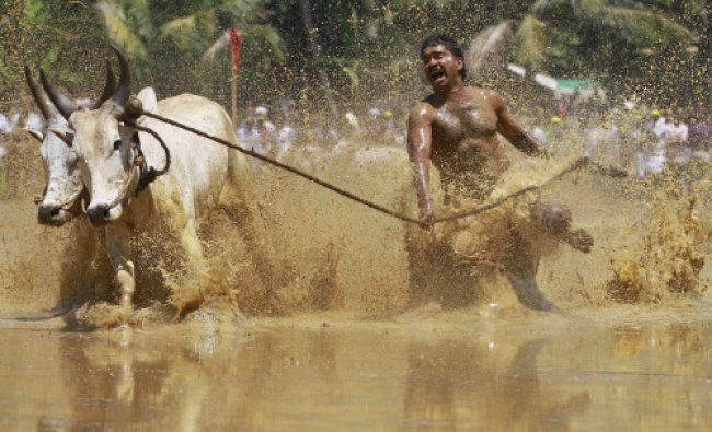 A farmer shouts while running alongside his pair of oxen as they race through a paddy field ...