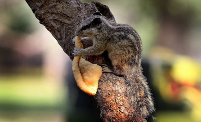 A squirral enjoys Gujia sweets, at Lodhi gardens during Holi celebrations in New Delhi...