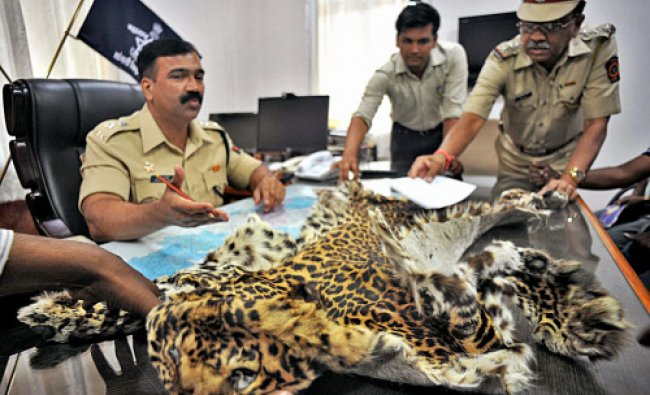 Police officers showing to the media the tiger-skin recovered from 8 arrested smugglers in Sangli...