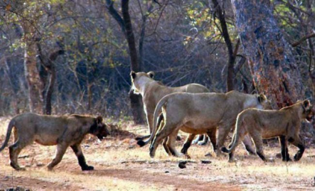 Lioness with her cubs on a stroll in Gir Forest which is the abode of Asiatic lions in Vadodara...