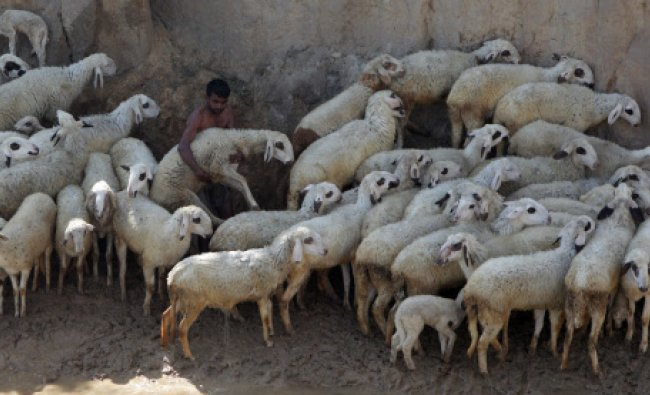 A herder arranges his sheeps in a village near Rohtak, Haryana...