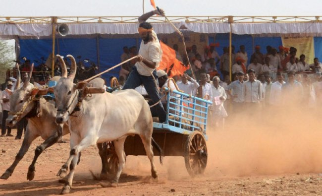 Villagers taking part in Bullock cart race, organised by locals in Hubli...