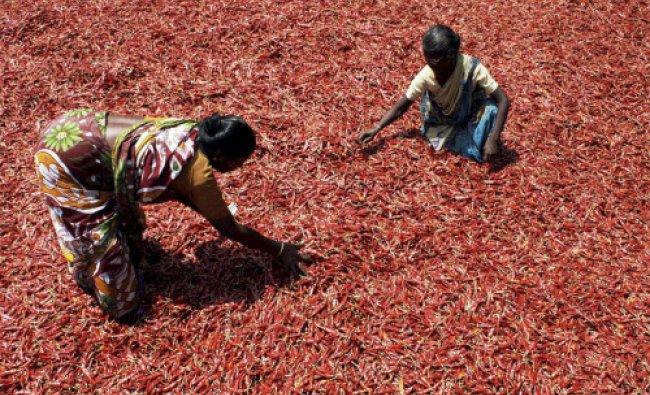 Women drying up red chillies in Navi Mumbai...