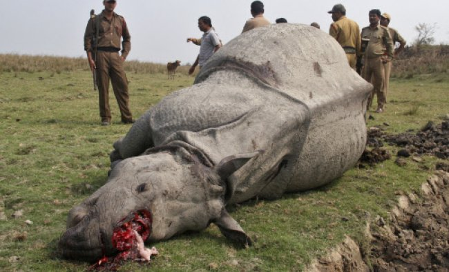 An Indian one-horned rhino lies dead with its horn missing at Pobitora Wildlife Sanctuary...