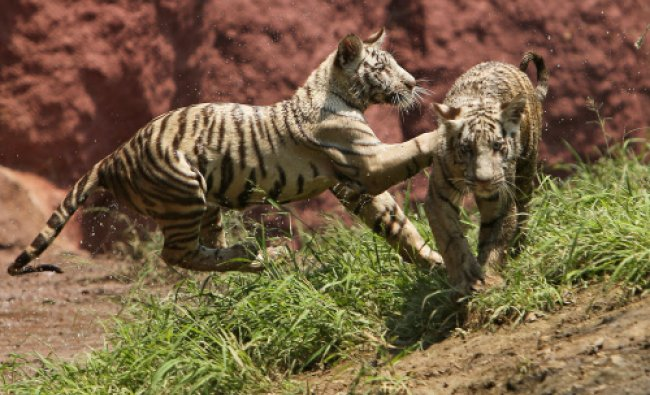 Six-month-old tiger cubs play inside their enclosure at Nehru Zoological Park in Hyderabad...