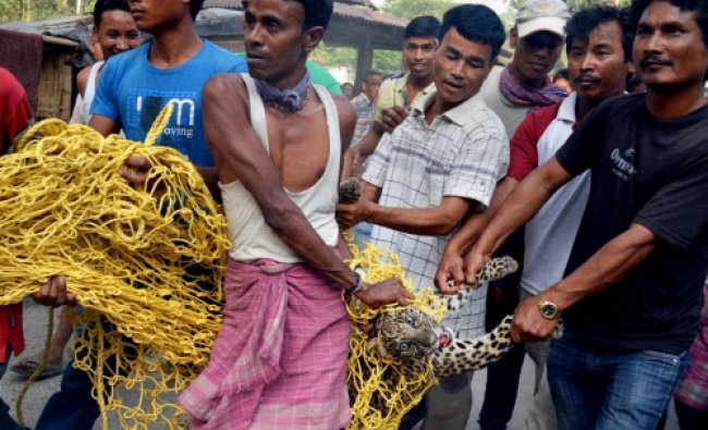 Villagers carry an injured Leopard who entered in the locality from nearest forest at Alipurduar...