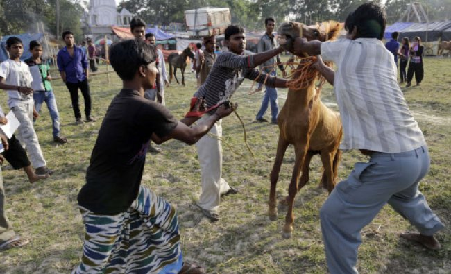 Horse handlers attempt to put a rein on a horse before a local horse race in Dakkhin Durgapur...