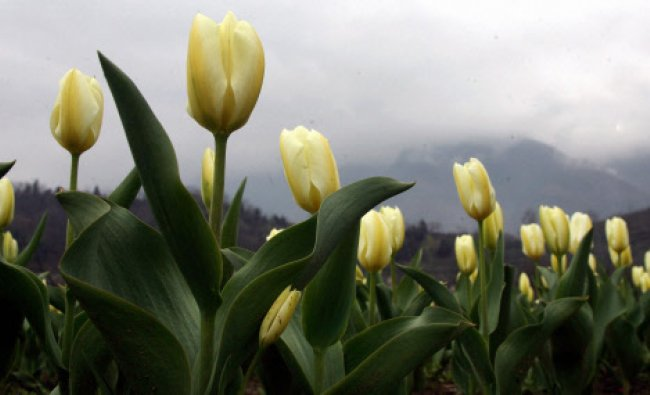 A view of fully bloomed Tulips at Asia\'s largest Tulip Garden...