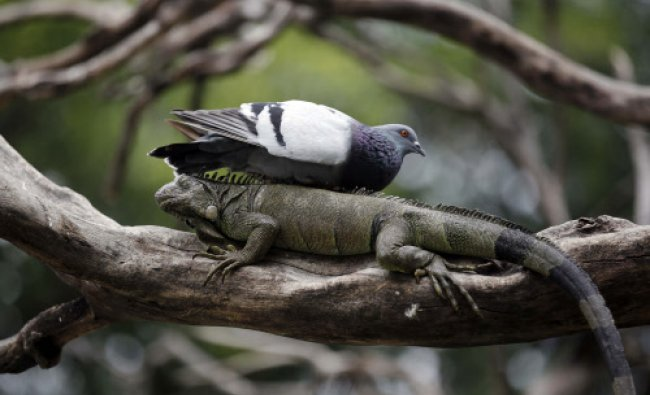 A pigeon rests on a wild iguana in a tree inside Seminario Park in Guayaquil, Ecuador. Tourists...