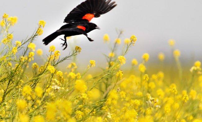 A red winged blackbird goes from flower to flower in a field of wild mustard in southeast...