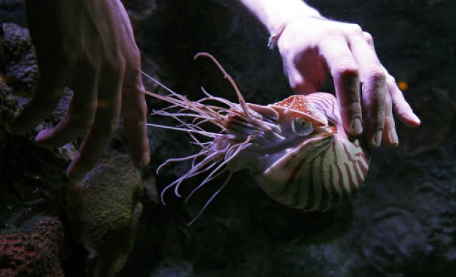 Aquarist Bret Grasse feeds a Chambered nautilus in preparation for the upcoming \'Tentacles: The...