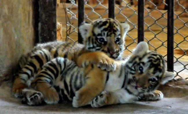 Two tiger cubs recently born in Pilikula Nisargadhama Zoo, Mangalore...