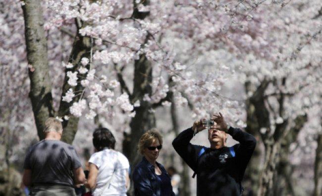The famed cherry trees blossom along the Tidal Basin in Washington April 9, 2014. Washington\'s...