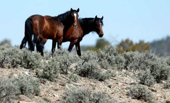 Two of a band of wild horses graze in the Nephi Wash area outside Enterprise, Utah...