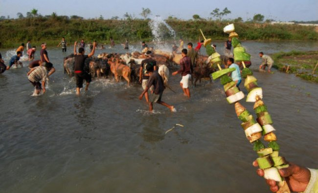 People bathe their cows in a traditional way at the Sessa river at Bokul Maz Gaon...