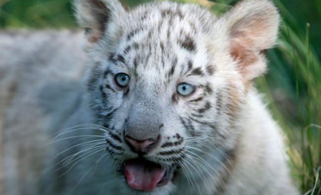 A three-month-old Bengal white tiger cub is seen inside its enclosure at the Buenos Aires\' Zoo...