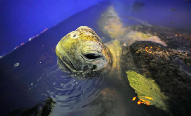 A green sea turtle lies inside a container after being treated for injuries at the University at...