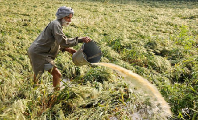 A farmer trying to drain out water from his wheat field with the help of a bucket after heavy...
