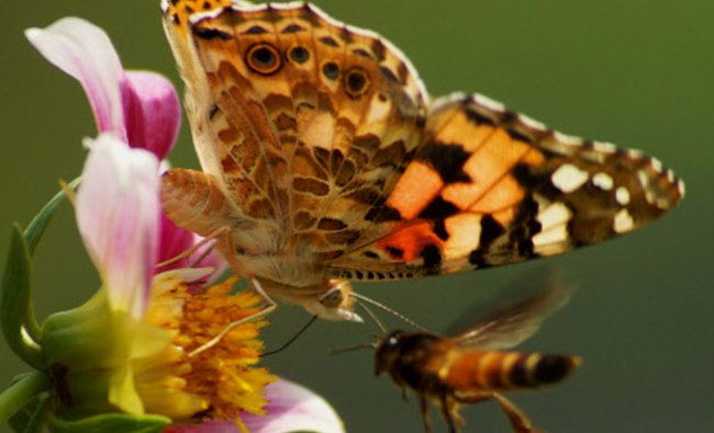 A butterfly and a honey bee fight to collect nectar from a flower, Delhi...