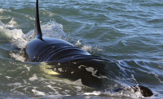 A female orca, or killer whale, named Mika catches a sea lion pup along the shore of Punta ...