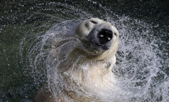 27 year old white polar bear Uslada shakes off water in her pool at the Leningrad Zoo in St...