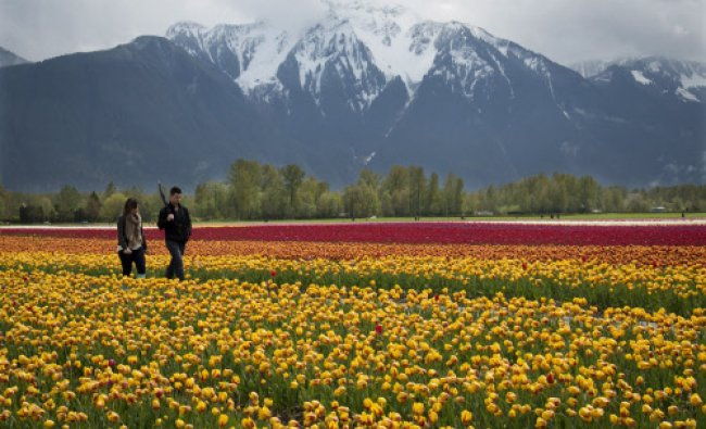 A couple walk along a row of tulips during the Tulips in the Valley Festival in Agassiz ...