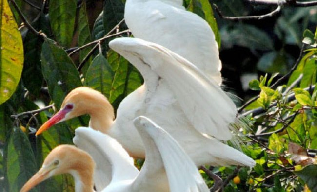 A pair of Cattle Egret bird sitting on a tree in Guwahati...