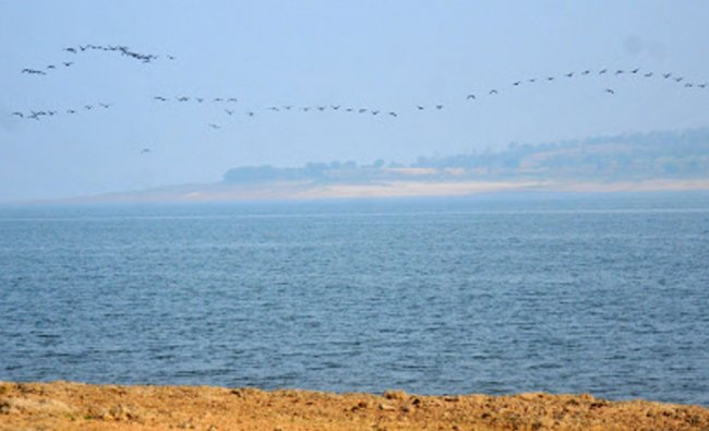 Indian Carmorant birds make a formation, as water level deplieting at the backwaters of...
