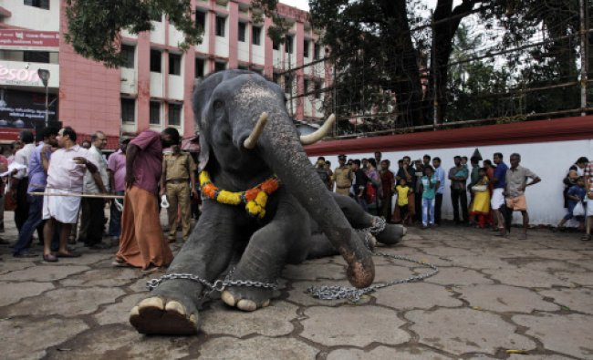 A chained temple elephant sits upon the command of his mahout as he is prepared for Fridays...