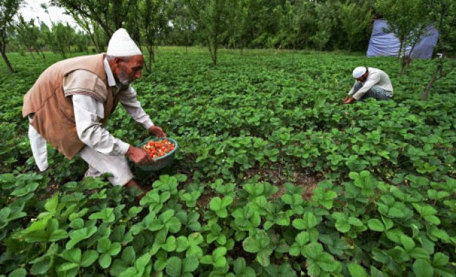 A Kashmiri family collecting strawberries inside their farm on the outskirts of Srinagar ...